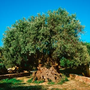 World's oldest olive tree on Crete