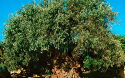 World's oldest olive tree on Crete